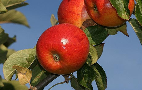 What's the best type of fruit tree to grow?