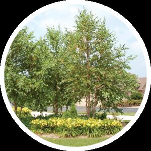 Spring Dig Birch Tree