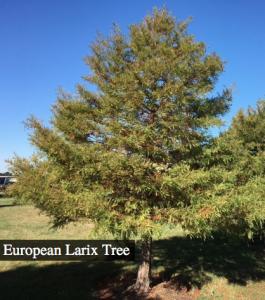 Larix Tree Spotlight